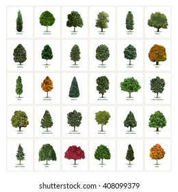 Thirty different vector tree illustrations. Tree types, sorts/specimens. Arborvitae, European Ash, Black Ash, White Ash, Silver Fir, Chestnut, Eastern White Pine, Cottonwood and Honey Locust trees.