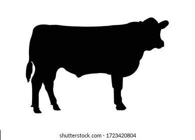 This is Angus cow in white background.