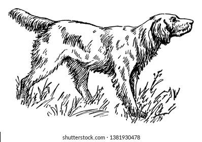 C'est un chien d'une grande race aux cheveux longs, dressé pour se tenir rigide quand on fait du parfum. Un chien de chasse comprenant trois races : Anglais, Gordon et Irlandais, illustration de dessin ou de gravure vintage.