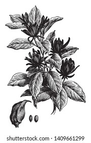 This is a floral branch of Calycanthus Floridus. It has dark green leaves and flowers have a sweet, apple scent, vintage line drawing or engraving illustration.