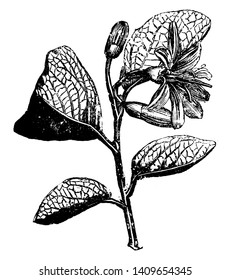 This is a Flowering Branch of Calycanthus Floridus. It has dark green leaves and flowers have a sweet, apple scent, vintage line drawing or engraving illustration.