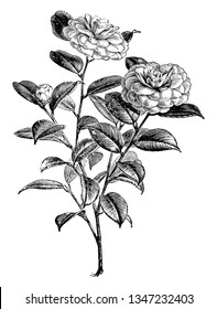 This is a flowering branch of Camellia Japonica. It has rose to pink flowers and dark green leaves, vintage line drawing or engraving illustration.