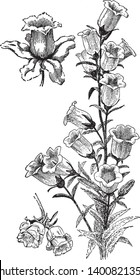 This is a flowering branch of Campanula Medium. Flowers are bell shaped. It has short stalk. Flowers are available in pink, white, purple and blue color, vintage line drawing or engraving illustration