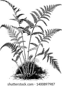 This is Gymnogramme Tartarea plant. Usually an evergreen conifer such as spruce, pine, or fir or an artificial tree of similar appearance. It also has ferns have fronds, vintage line drawing