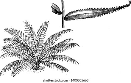 This is Habit and Portion of Detached Frond of Nephrolepis Davallioides along with sharp -toothed leaf-edges it shows detached pinna of the nephrolepis davallioides furcans fern, vintage line drawing