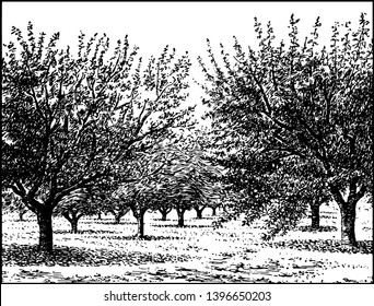 This illustration represents Apple Orchard at bearing age, vintage line drawing or engraving illustration.