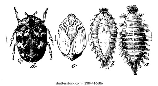 This illustration represents Carpet Beetle Stages, vintage line drawing or engraving illustration.