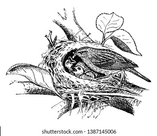 This illustration represents Chipping Sparrow Feeding Young, vintage line drawing or engraving illustration.
