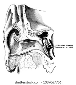 This illustration represents Ear Showing Auditory Canal and Tympanum, vintage line drawing or engraving illustration.