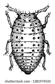 This illustration represents Grape Gall Louse, vintage line drawing or engraving illustration.