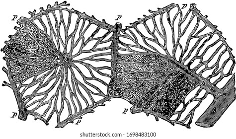 This illustration represents Hepatic Lobules of the Liver, vintage line drawing or engraving illustration.