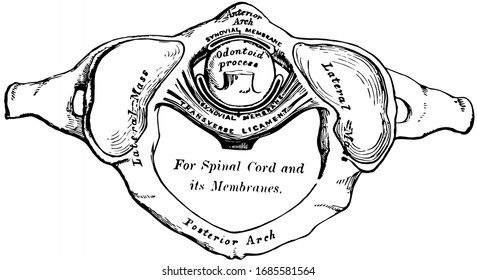 This illustration represents Odontoid Process, vintage line drawing or engraving illustration.