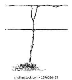 This illustration represents Pruned System According to the Umbrella System and this system is also called the two cane Kniffin vintage line drawing or engraving illustration.