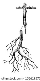 This illustration represents Root Grafting of Woody Plant which is used in agriculture and horticulture, vintage line drawing or engraving illustration.