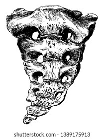 This illustration represents Sacrum and Coccyx, vintage line drawing or engraving illustration.