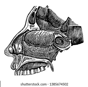 This illustration represents a Side View of the Passage of the Nostrils, vintage line drawing or engraving illustration.