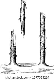 This illustration represents Whip or Tongue Grafting which is considered the best method of grafting vintage line drawing or engraving illustration.