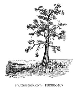This is an image of bald cypress in swamp form. This image is showing the tree in the lake with aerating roots or knees, vintage line drawing or engraving illustration.