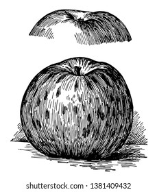 In this image are the blue pearmain apples, vintage line drawing or engraving illustration.