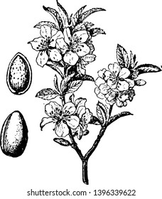 In this image the branch blossom and fruit are the almond tree vintage line drawing or engraving illustration.