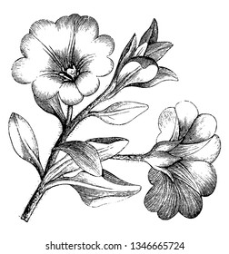 This is the image of flowering Branchlet of Nolana Paradoxa, vintage line drawing or engraving illustration.