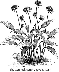 This is an image of flowers of Allium Ursinum. Flowers look like a star with six petals. These plants have a leaf on each stalk, vintage line drawing or engraving illustration.