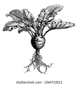 This image is full growing of kohlrabi. This is rounded shape. The leaves are long. Root is long, vintage line drawing or engraving illustration.
