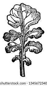 This is a image of Lyrate Leaf lobes. In each lobes in largest among the leaf, vintage line drawing or engraving illustration.