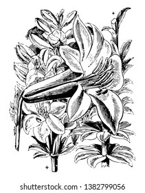 This image portrays the beauty of Lilium washingtonianum; it is a North American plant species in the lily family. It is also known as the Washington lily, Shasta lily, vintage line drawing