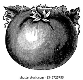 This is an image of Rawson's Puritan Tomato. It has been grown for several years as a leading early variety, vintage line drawing or engraving illustration.