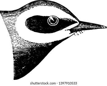 This image represents Blue Golden Winged Warbler vintage line drawing or engraving illustration.