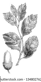 This is a middle-size oak tree's twig that is known as Quercus Suber, vintage line drawing or engraving illustration.