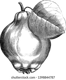 This picture is containing a Portugal quince pear with one leaf, vintage line drawing or engraving illustration.