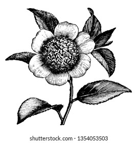 This is a picture of flower of Camellia Japonica Anemonaeflora. Its leaves are simple or compound with lobed, vintage line drawing or engraving illustration.