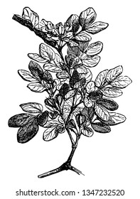 This is a picture of Holywood plant which is known as Lignum Vitae and mostly found in Southern Florida and Central America, vintage line drawing or engraving illustration.