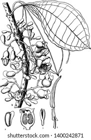 This is a picture of a plant called Mayweed, in this picture the parts of the plant are shown, vintage line drawing or engraving illustration.