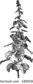 This picture represents Flowering Stem of Hollyhock member of mallow family which is known as hollyhocks mostly found in Asia and Europe, vintage line drawing or engraving illustration.