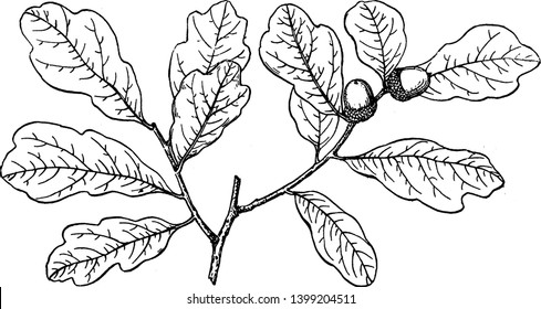 This picture showing branch of shallow lobed oak, this leaves shape are lobed, seed born on nude, vintage line drawing or engraving illustration.