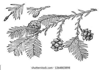 This picture is showing Pine Cone of Redwood tree's branch with leaves & flower this is also known as Sequoia Sempervirens, vintage line drawing or engraving illustration.