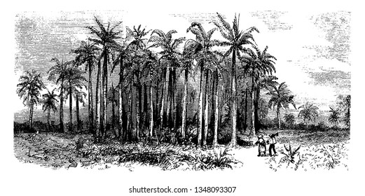 This picture is showing Roystonea (Royal Palm) which is a genus of 10 species of Monoecious palms. It is native to tropical regions of Florida, the adjacent coasts of Central and South America