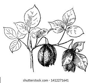 This picture is showing a shrub known as Staphylea trifolia mostly found in eastern North America, from southern Ontario and southwestern Quebec west to Nebraska and Arkansas and south to Florida