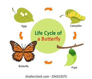 This picture shows the life cycle of a butterfly from an egg to a beautiful butterfly.