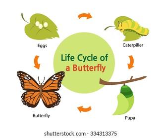 这张照片显示了蝴蝶从鸡蛋到美丽蝴蝶的生命周期。