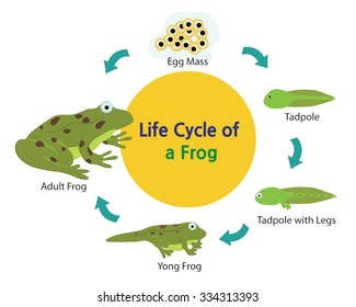 This picture shows the life cycle of a frog from an egg to a frog.