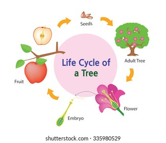 This picture shows the life cycle of a tree.
