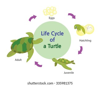 This picture shows the life cycle of a turtle from an egg to an adult turtle.