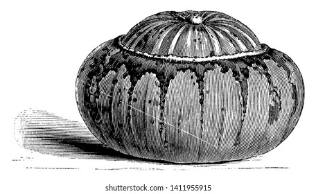 In this picture there is Turk's Cap Gourd. This Turk's Cap Gourd is look like a turban pumpkin. The centre of this gourd is elevated and colour is white and yellow, vintage line drawing or engraving