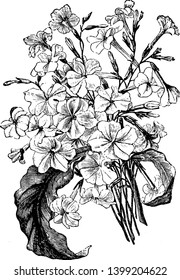 This is a rare Australian tobacco it grows to tall-with smaller tubular flowers but many of them. Flowers are white. The leaves are less coarse as well, vintage line drawing or engraving illustration.