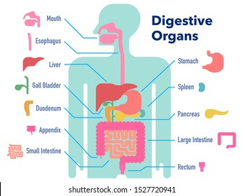 This is a simple vector illustration of the digestive tract with name for each part.