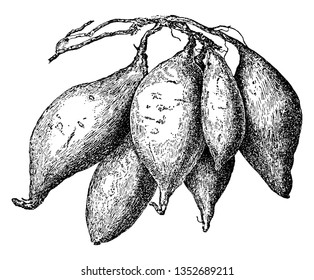 This is Sweet Potato. The growth of this is same as Potato. The sweet potato is dicotyledonous plant that belongs to the bindweed, Convolvulaceae. Its starchy, sweet-tasting, vintage